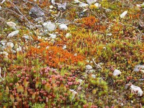 Арктический мох