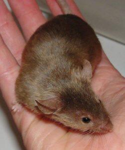 Атласная-разновидность-декоративных-крыс