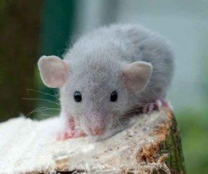 Декоративная-крыса-разновидность-Дамбо