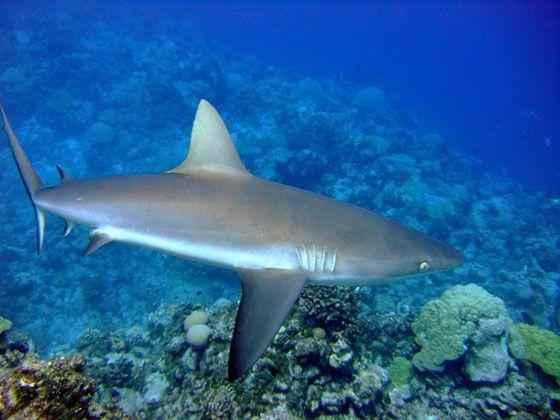 Серая-рифовая-акула