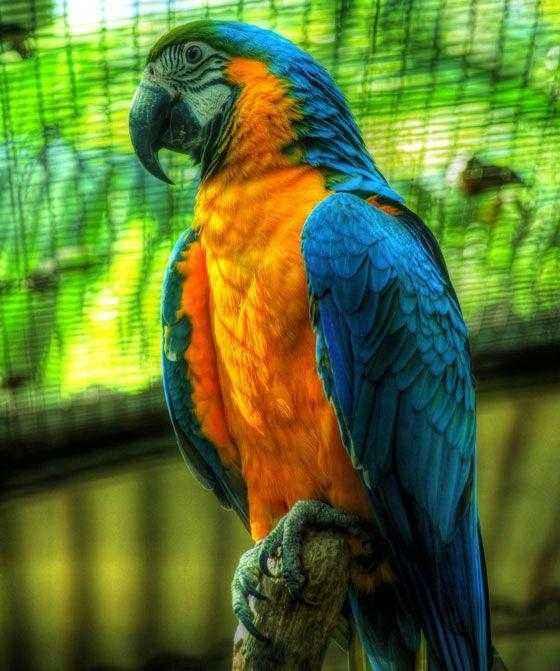 Сине-желтый-ара