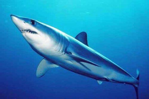 Какие виды акул крупнейшие на Земле — список, фото и характеристика зверушки,живность,питомцы,Животные