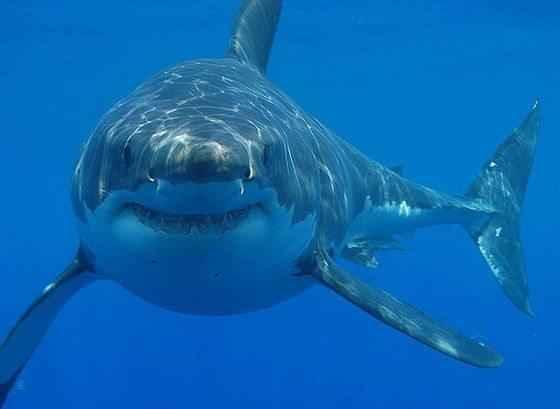 белая-акула