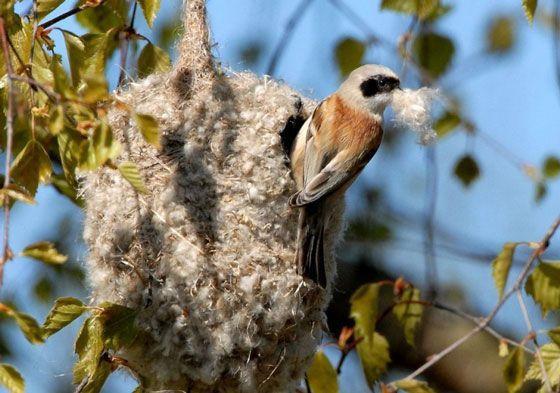 гнездо-ремеза