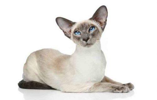 Самые ласковые и добрые породы кошек - список, характеристика и фото 3