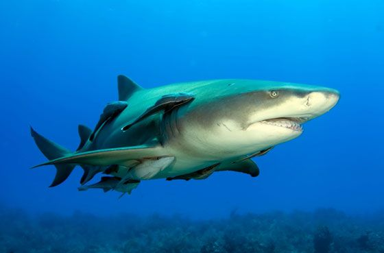 лимонная-акула