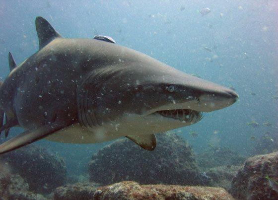 песчаная-акула