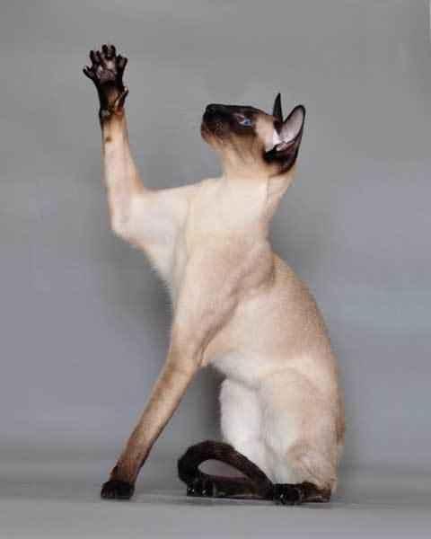 сиамская-кошка-играет