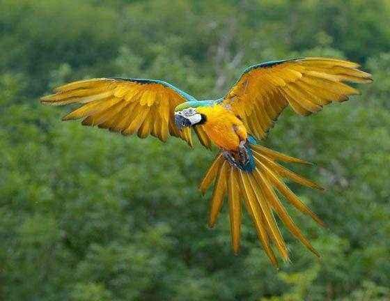 сине-желтый-ара-в-полете