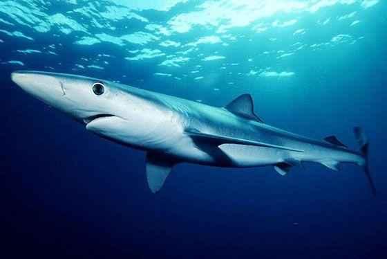 синяя-акула