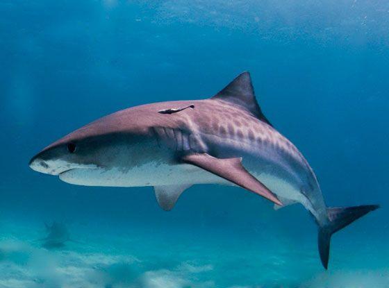 тигровая-акула