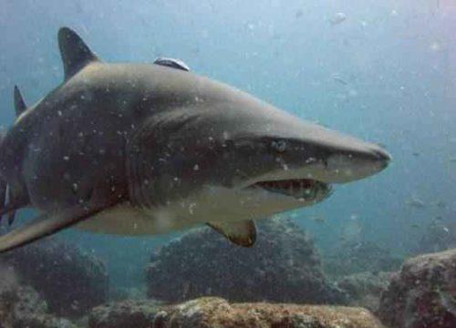 Виды и отряды акул - характеристика, примеры и фото 13