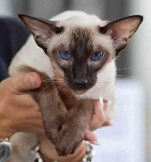 сиамский-кот