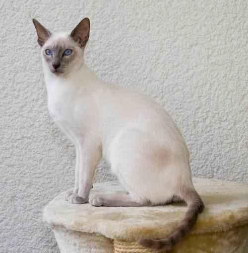 сиамская-кошка-на-кроватке