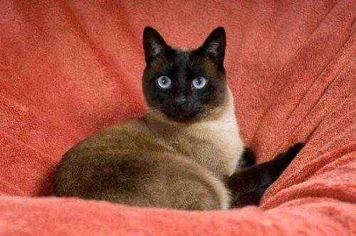 тайская-кошка-на-своем-ложе
