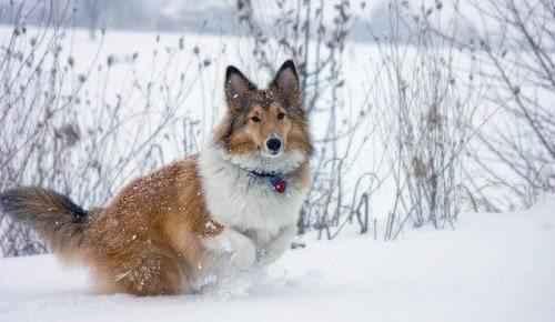 шетлендская-овчарка-в-снегу