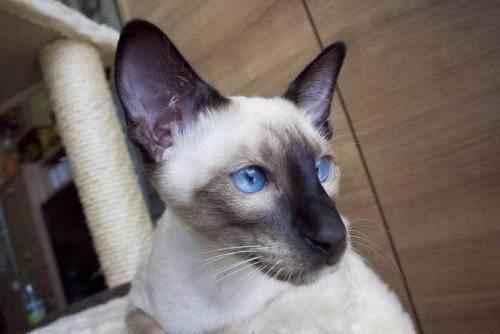 мордочка-сиамской-кошки