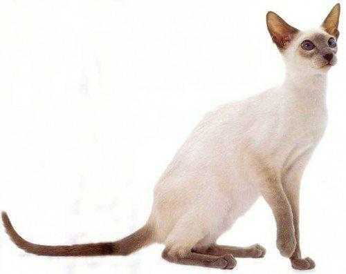 фото-сиамской-кошки