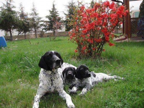 Курцхаар-с-щенками