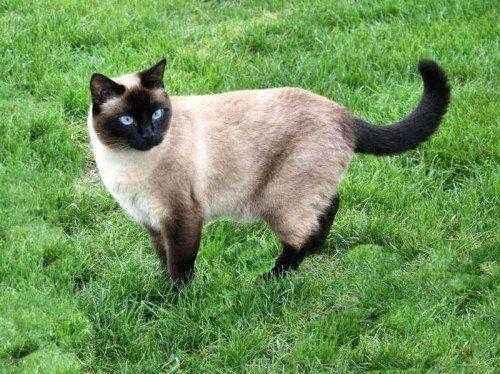 Тайские кошки: особенности породы и содержания