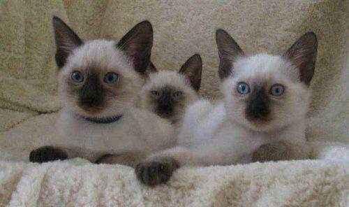 ктята-тайской-кошки