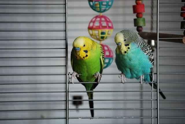 Волнистый попугайчик: неприхотливый питомец и отличный собеседник 7