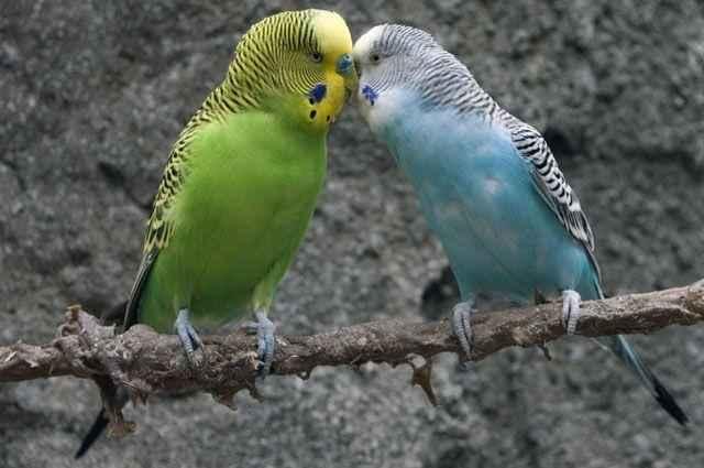 Волнистый попугайчик: неприхотливый питомец и отличный собеседник 6
