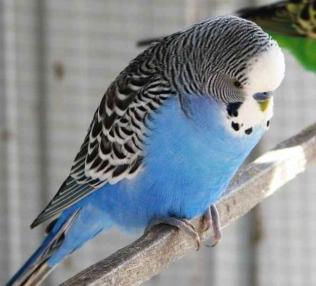 Волнистый попугайчик: неприхотливый питомец и отличный собеседник 2