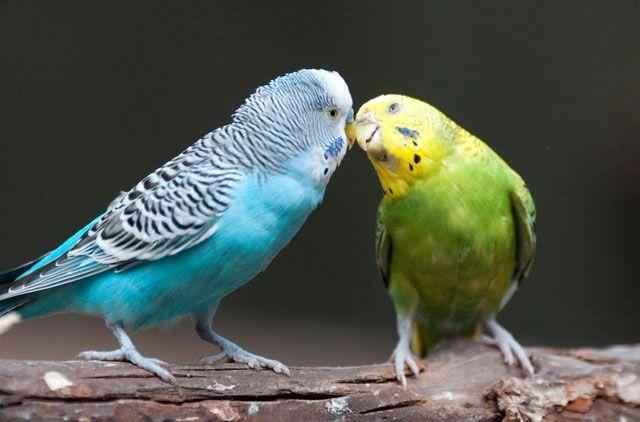 Волнистый попугайчик: неприхотливый питомец и отличный собеседник 5