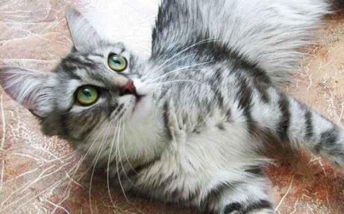 Самые красивые породы кошек - список, характеристика и фото 11