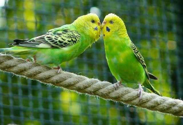 Волнистый попугайчик: неприхотливый питомец и отличный собеседник 4