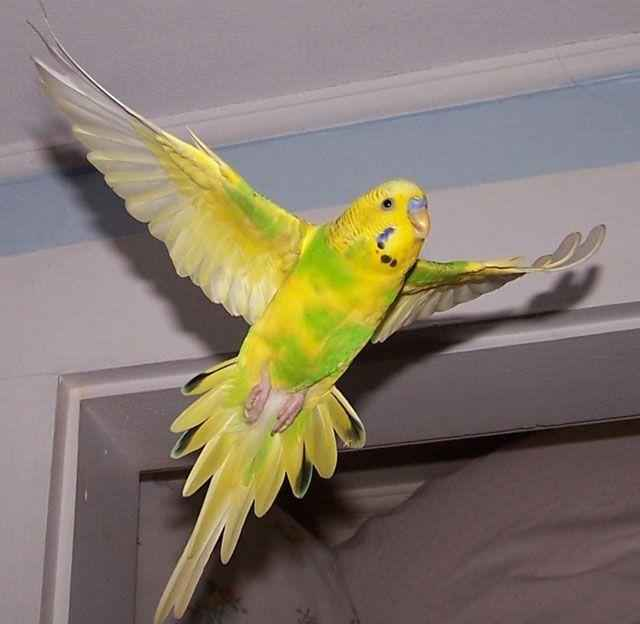 Волнистый попугайчик: неприхотливый питомец и отличный собеседник 3