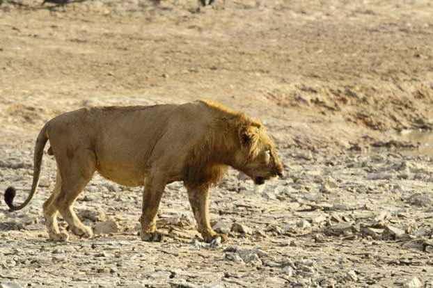 лев-в-Национальном-парке-Пенджари