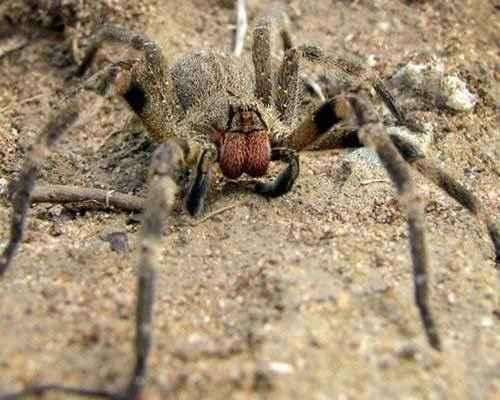 Бразильский-странствующий-паук-(Phoneutria-nigriventer)