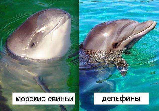 Дельфины-и-морские-свиньи