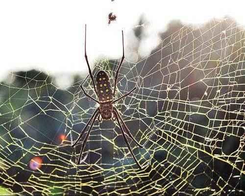 Золотой-паук-ткач-(Nephila-clavipes)