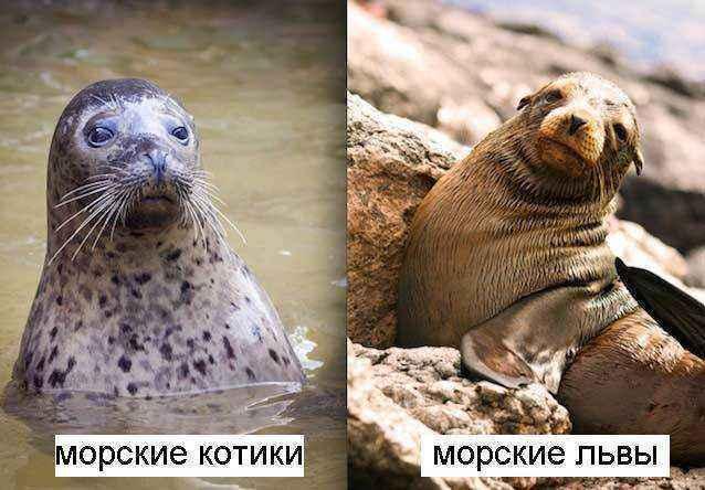 Котики-и-морские-львы