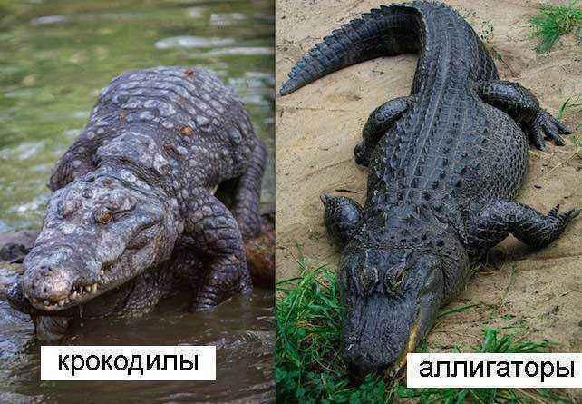 Крокодилы-и-аллигаторы