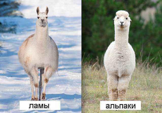 Ламы-и-альпаки