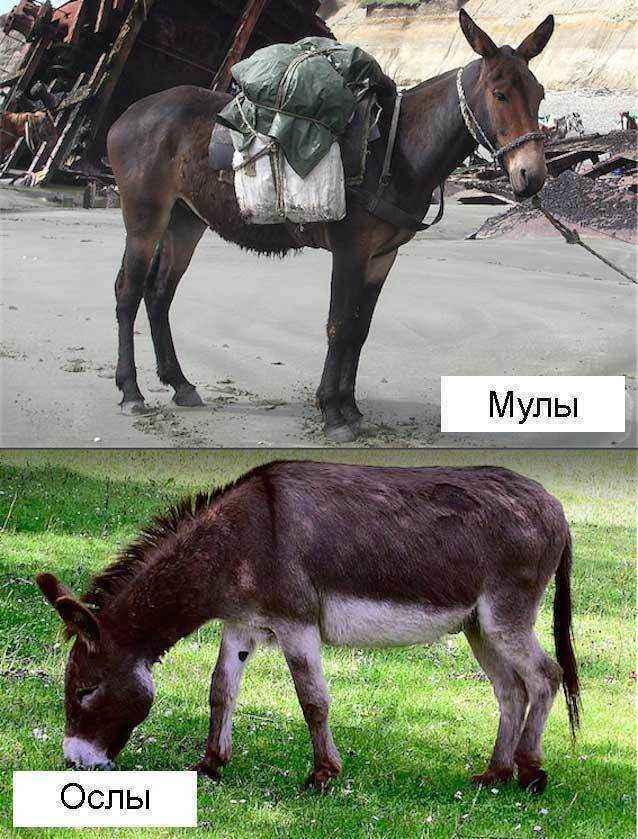 Мулы-и-ослы