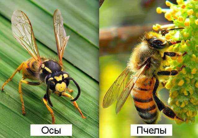 Осы-и-пчелы