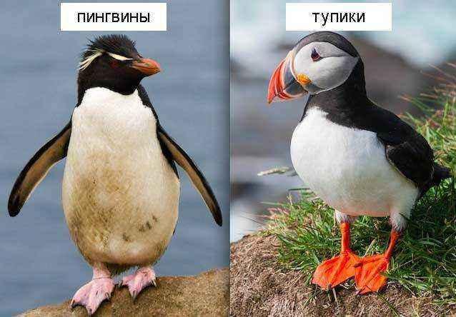 Тупики-и-пингвины