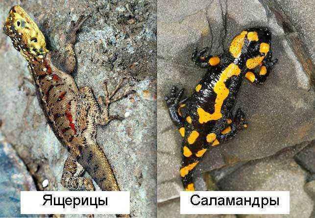 Ящерицы-и-саламандры