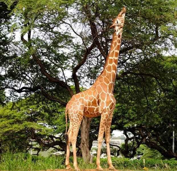 питание-жирафов