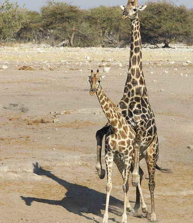 жирафы-размножение