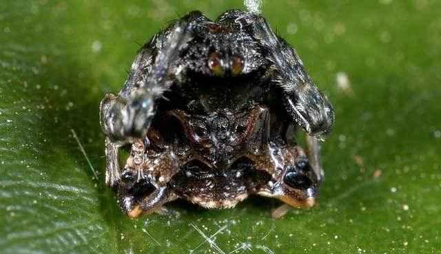 паук-птичий-помет-(Celaenia-excavata)