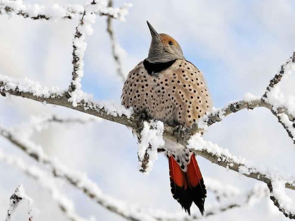 снежная птица