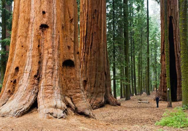 фото-Гигантский-лес,-Национальный-парк-Секвойя,-Туларе,-Калифорния,-США