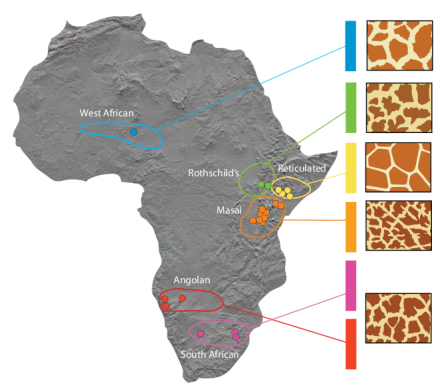 подвиды жирафа