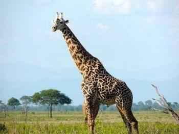 описание-жирафов